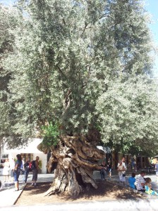 1000yo olive tree in Palma
