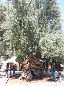 1000yo olive tree in Palma