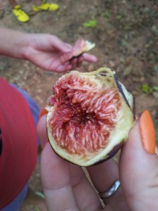fig from our friends' farm